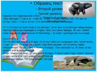 Африка пілі (Африканский слон). Жер бетіндегі құлағы ең үлкен аң. Оның құлағ