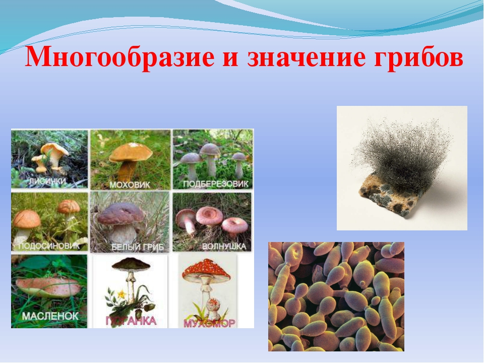 Многообразие и значение грибов