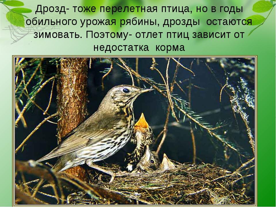 Дрозд- тоже перелетная птица, но в годы обильного урожая рябины, дрозды остаю...