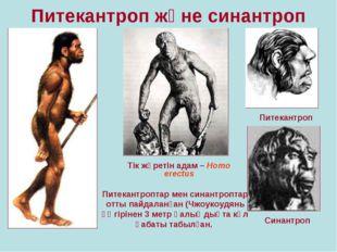 Питекантроп және синантроп Тік жүретін адам – Homo erectus Питекантроп Синант
