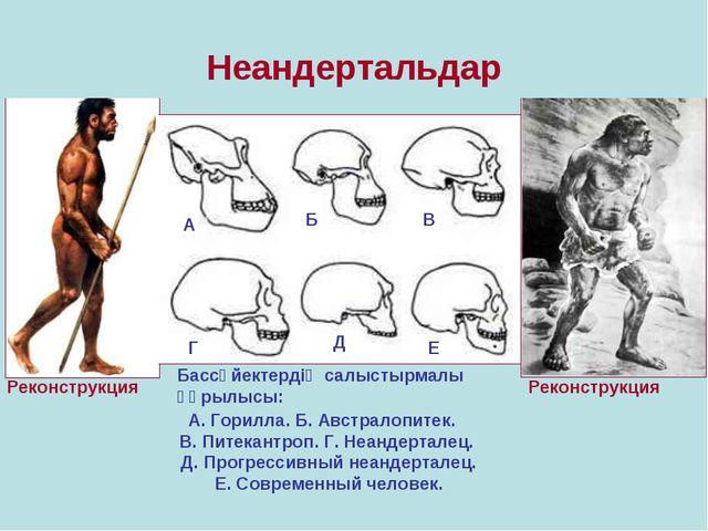 Неандертальдар Реконструкция Реконструкция Бассүйектердің салыстырмалы құрылы...