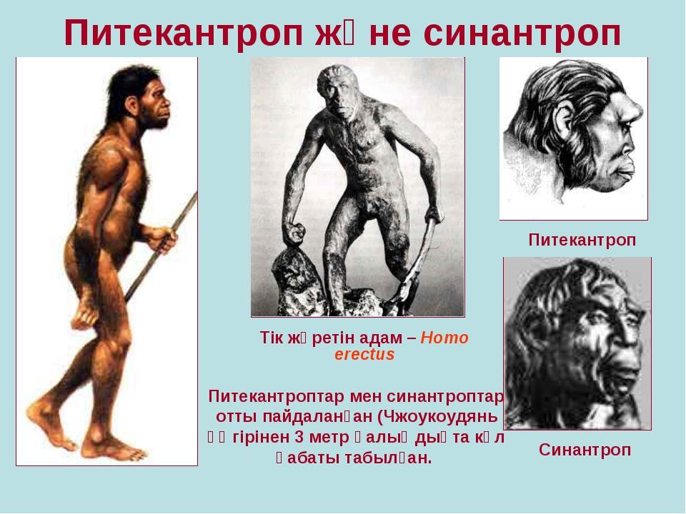 Питекантроп және синантроп Тік жүретін адам – Homo erectus Питекантроп Синант...