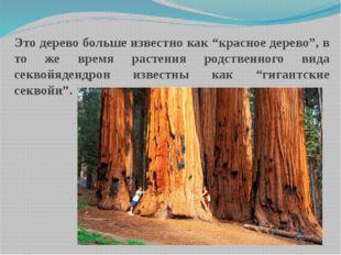 """Это дерево больше известно как """"красное дерево"""", в то же время растения родст"""