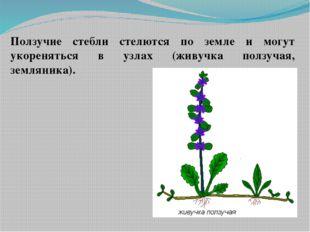 Ползучие стебли стелются по земле и могут укореняться в узлах (живучка ползуч