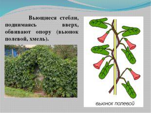 Вьющиеся стебли, поднимаясь вверх, обвивают опору (вьюнок полевой, хмель).