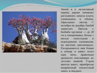 Зимой и в засушливый период дерево начинает расходовать запасы влаги, уменьша