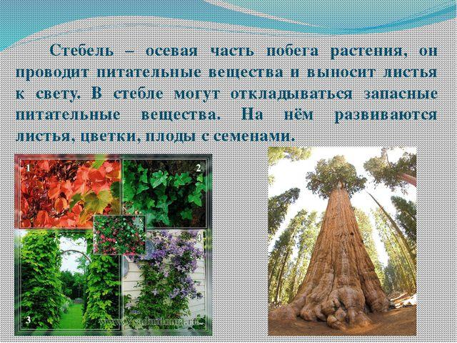Стебель – осевая часть побега растения, он проводит питательные вещества и в...