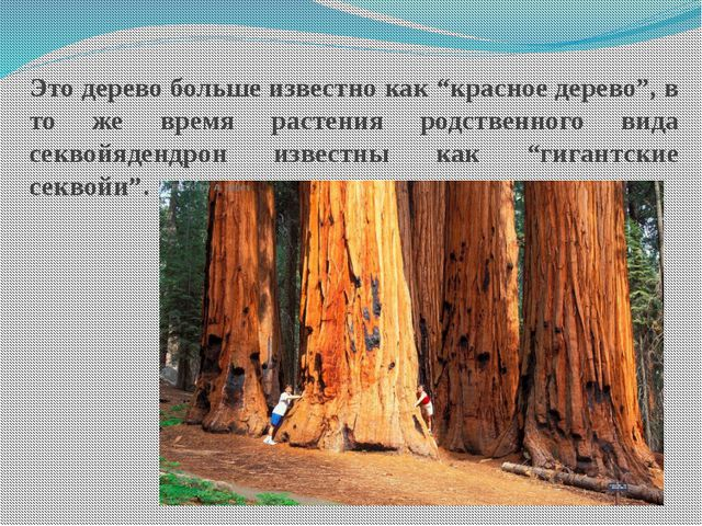 """Это дерево больше известно как """"красное дерево"""", в то же время растения родст..."""