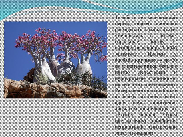 Зимой и в засушливый период дерево начинает расходовать запасы влаги, уменьша...
