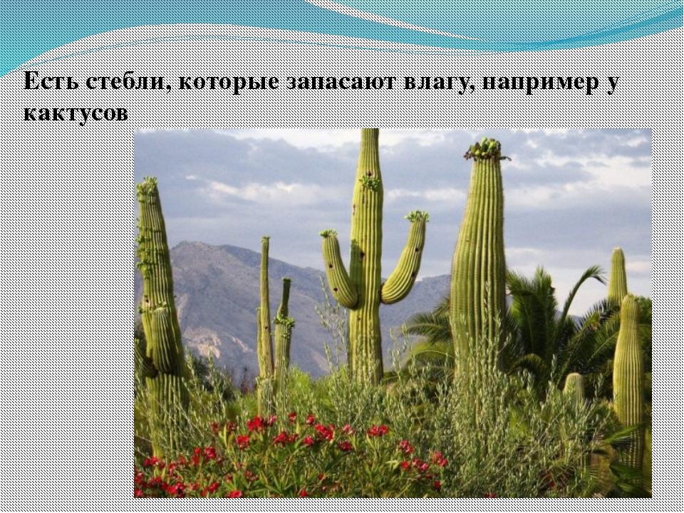 Есть стебли, которые запасают влагу, например у кактусов
