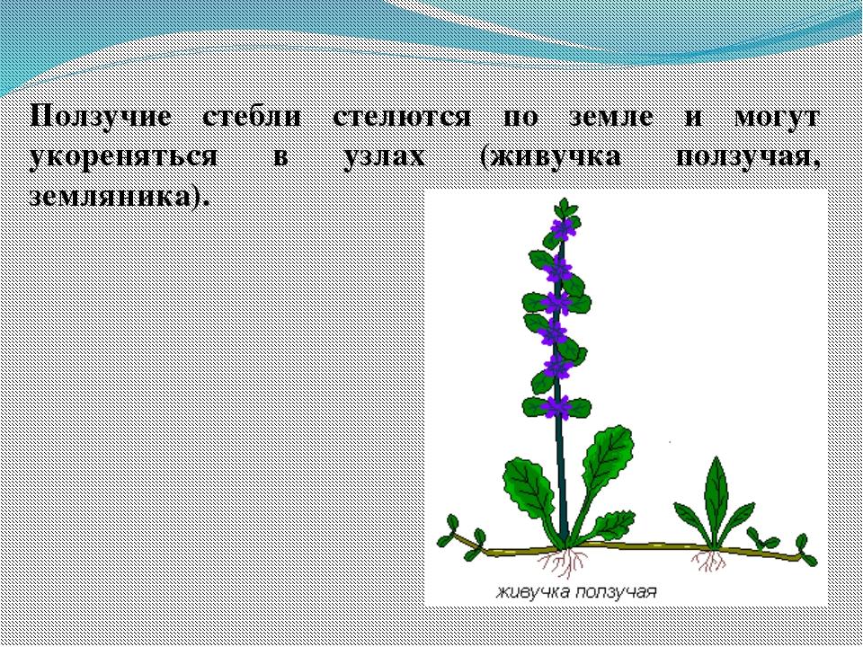 Ползучие стебли стелются по земле и могут укореняться в узлах (живучка ползуч...