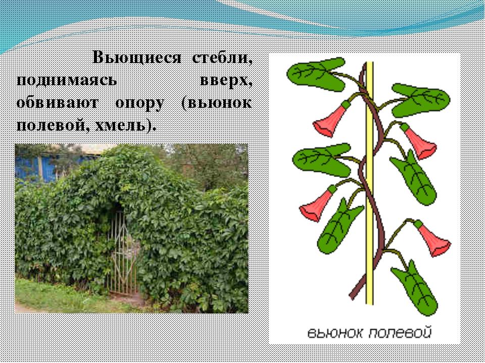 Вьющиеся стебли, поднимаясь вверх, обвивают опору (вьюнок полевой, хмель). ...