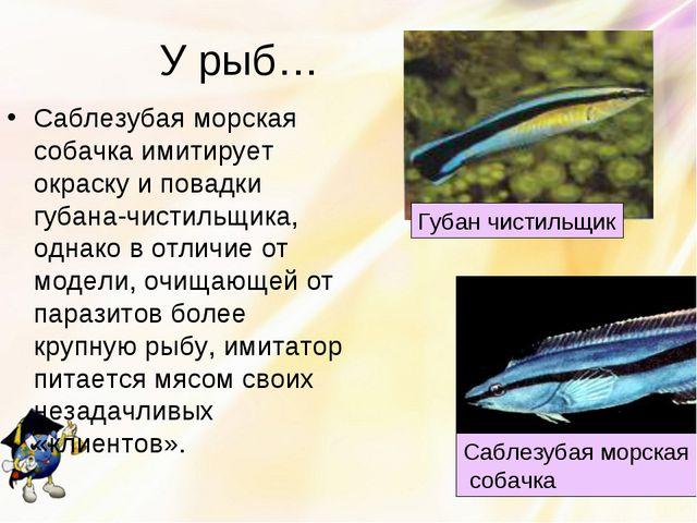 У рыб… Саблезубая морская собачка имитирует окраску и повадки губана-чистильщ...