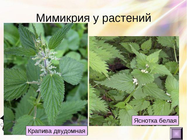 Мимикрия у растений Яснотка белая Крапива двудомная
