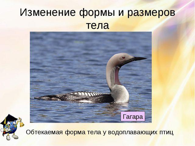 Изменение формы и размеров тела Гагара Обтекаемая форма тела у водоплавающих...