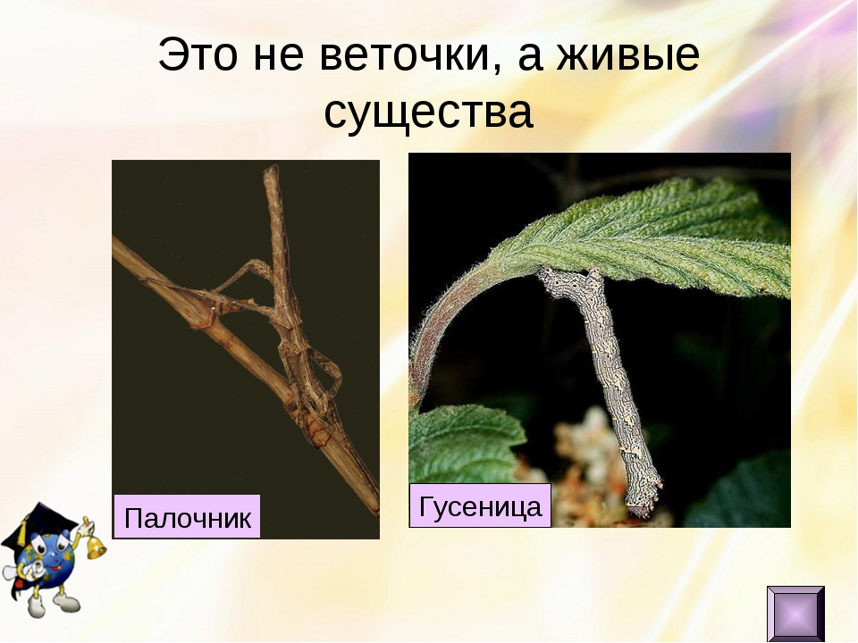 Это не веточки, а живые существа Палочник Гусеница