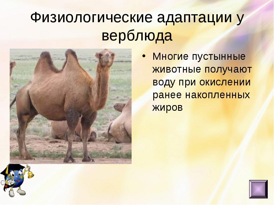 Физиологические адаптации у верблюда Многие пустынные животные получают воду...