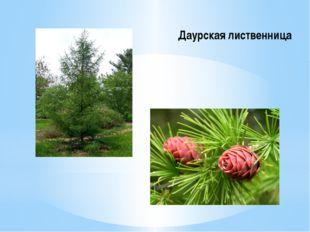 Даурская лиственница