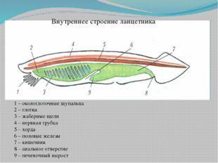Внутреннее строение ланцетника 1 – окологлоточные щупальца 2 – глотка 3 – жаб