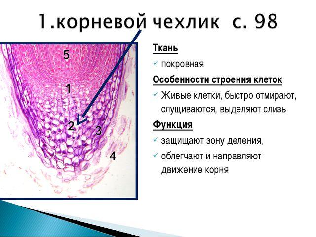 Ткань покровная Особенности строения клеток Живые клетки, быстро отмирают, сл...