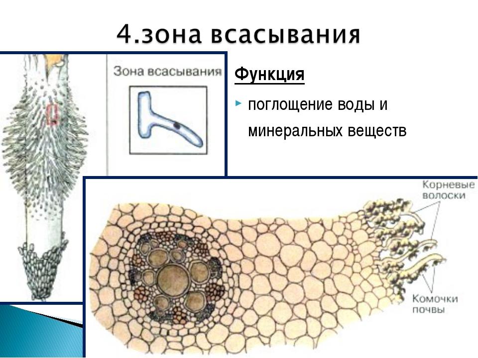 Функция поглощение воды и минеральных веществ