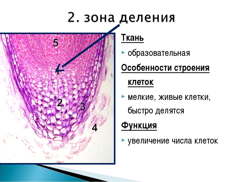 Ткань образовательная Особенности строения клеток мелкие, живые клетки, быстр...