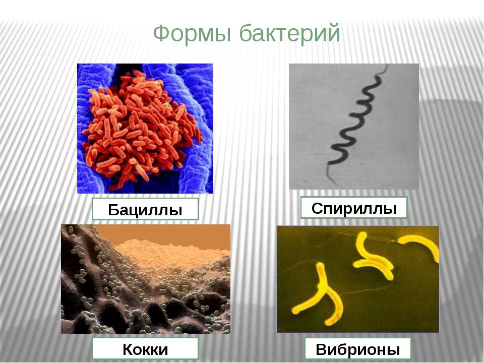 Формы бактерий Бациллы Спириллы Кокки Вибрионы