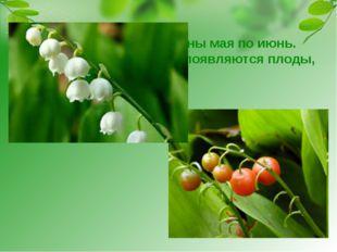 Ландыш цветёт с середины мая по июнь. Потом вместо цветков появляются плоды,