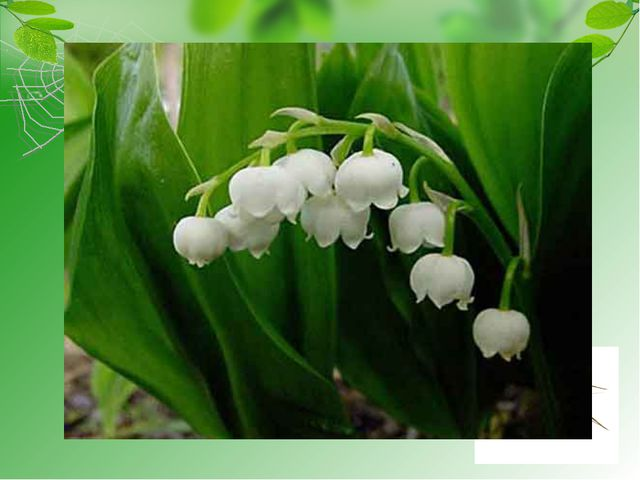 загадка Под занавес весны цветёт, В тени, где Солнышко не жжёт, И словно бус...