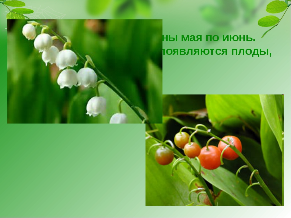 Ландыш цветёт с середины мая по июнь. Потом вместо цветков появляются плоды,...