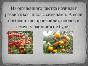Из опыленного цветка начинает развиваться плод с семенами. А если опыления не