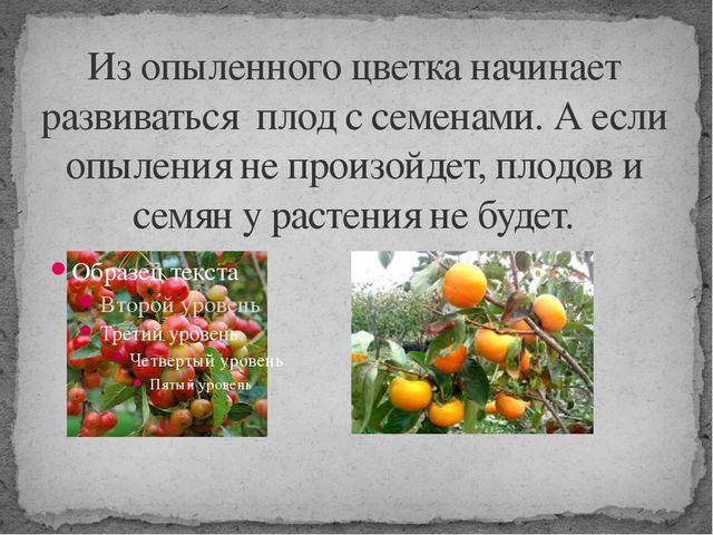 Из опыленного цветка начинает развиваться плод с семенами. А если опыления не...