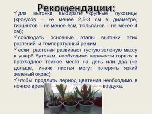 для выгонки выбирать крупные луковицы (крокусов – не менее 2,5-3 см в диаметр