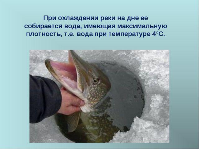 При охлаждении реки на дне ее собирается вода, имеющая максимальную плотность...