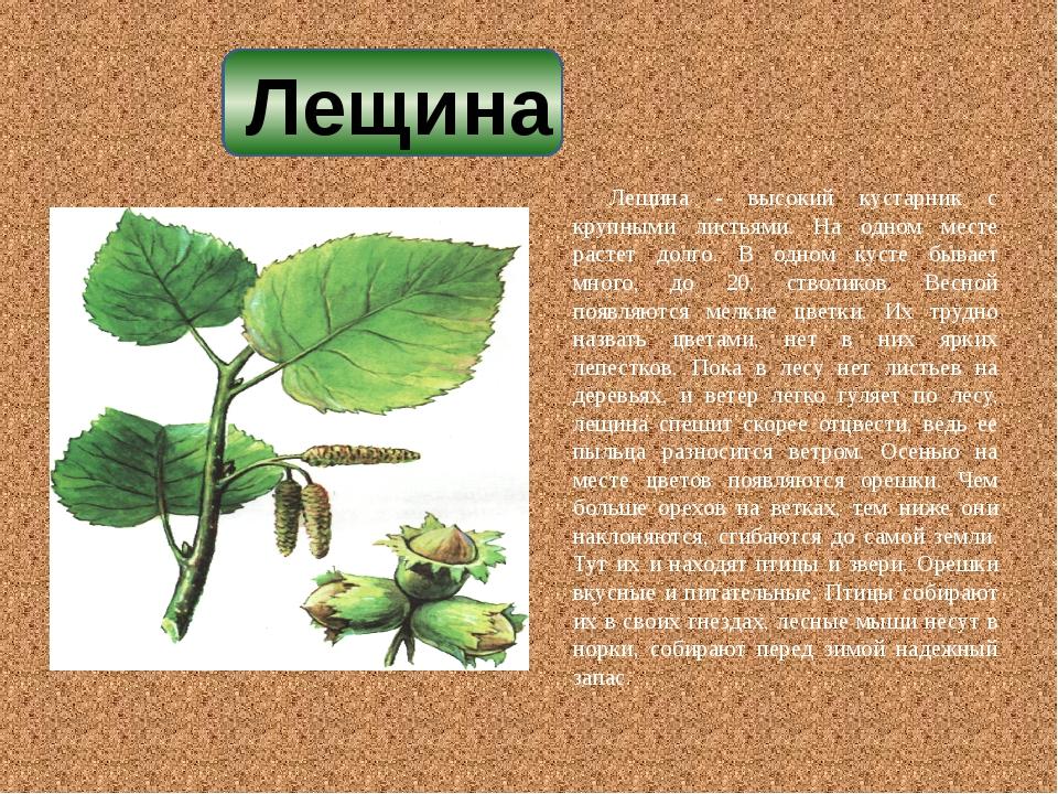 Лещина - высокий кустарник с крупными листьями. На одном месте растет долго....