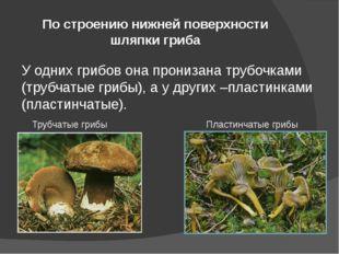 По строению нижней поверхности шляпки гриба У одних грибов она пронизана труб