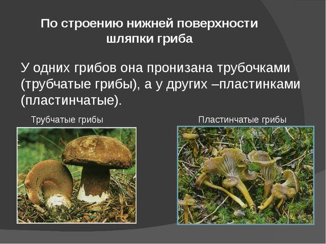 По строению нижней поверхности шляпки гриба У одних грибов она пронизана труб...