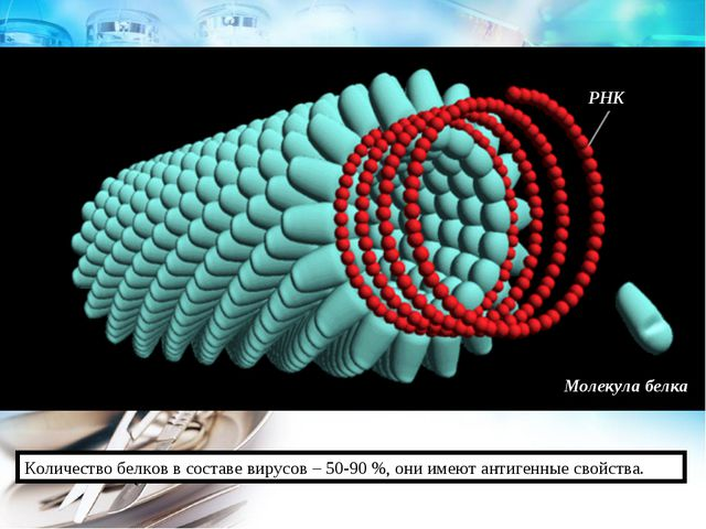 Молекула белка РНК Количество белков в составе вирусов – 50-90 %, они имеют а...