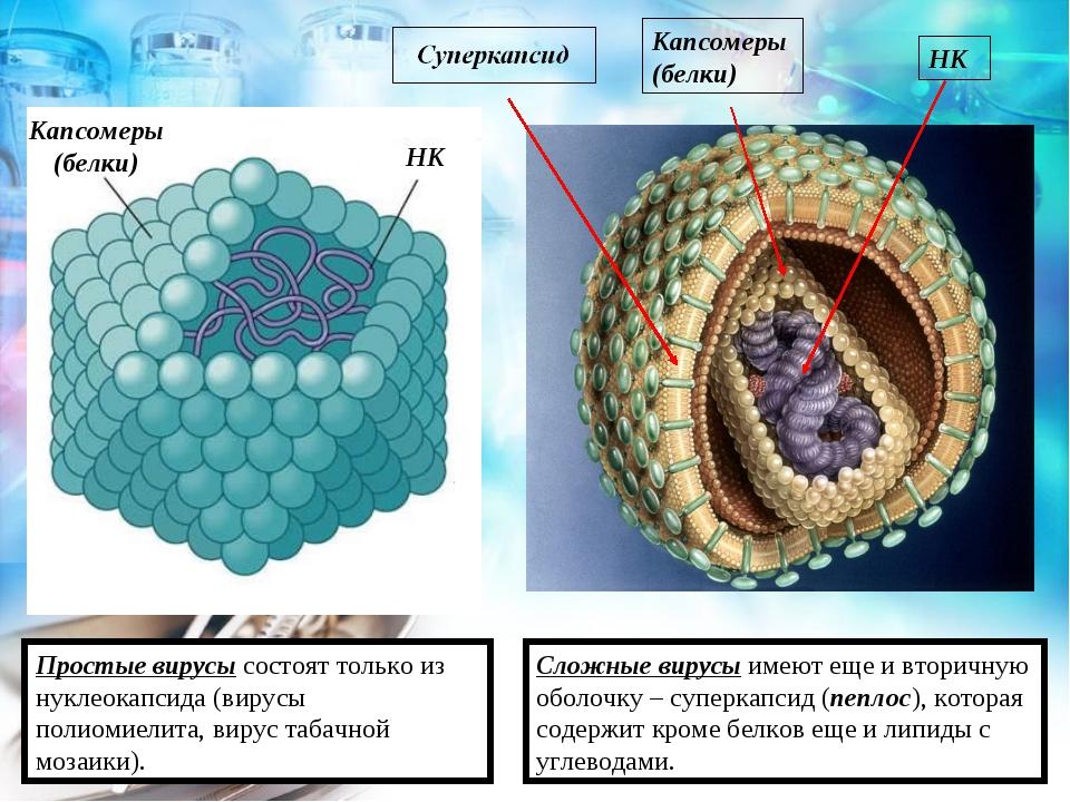 Капсомеры (белки) НК Простые вирусы состоят только из нуклеокапсида (вирусы п...