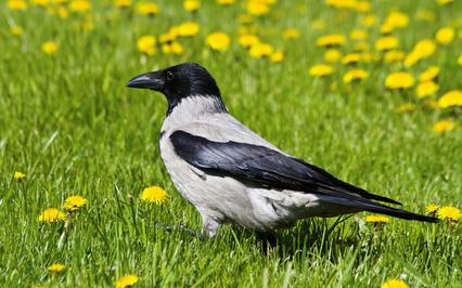 Картинка Ворона, трава, одуванчики