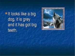 It looks like a big dog, it is grey and it has got big teeth.