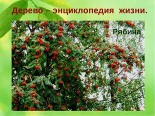Дерево – энциклопедия жизни. 3. Ягоды этого дерева не только красивы, но и по