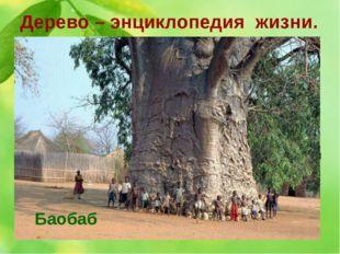 Дерево – энциклопедия жизни. 12. Hа африканском континенте это дерево в больш