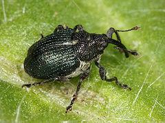 https://upload.wikimedia.org/wikipedia/commons/thumb/d/d5/Kaldari_Ceutorhynchus_americanus_01.jpg/240px-Kaldari_Ceutorhynchus_americanus_01.jpg