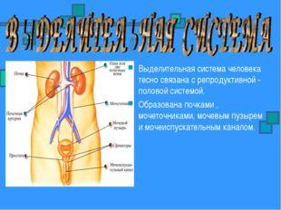 Выделительная система человека тесно связана с репродуктивной - половой систе