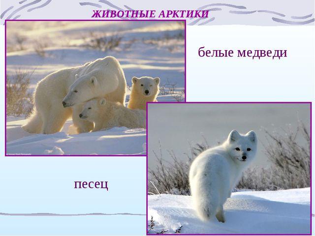 ЖИВОТНЫЕ АРКТИКИ белые медведи песец