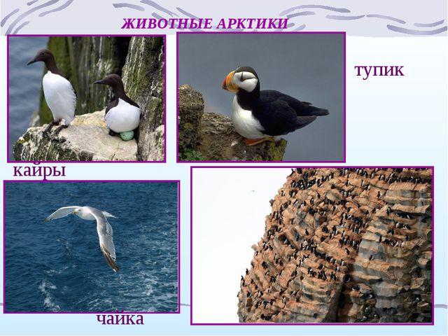 ЖИВОТНЫЕ АРКТИКИ кайры тупик чайка