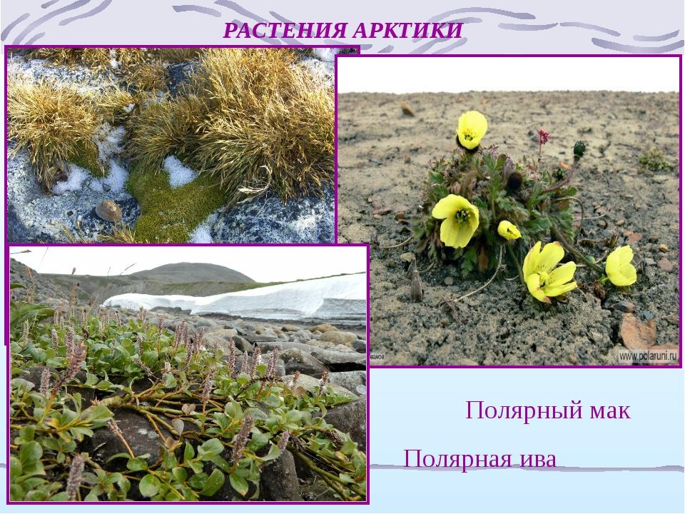 растения арктики картинки с названиями приготовить торт ванильного
