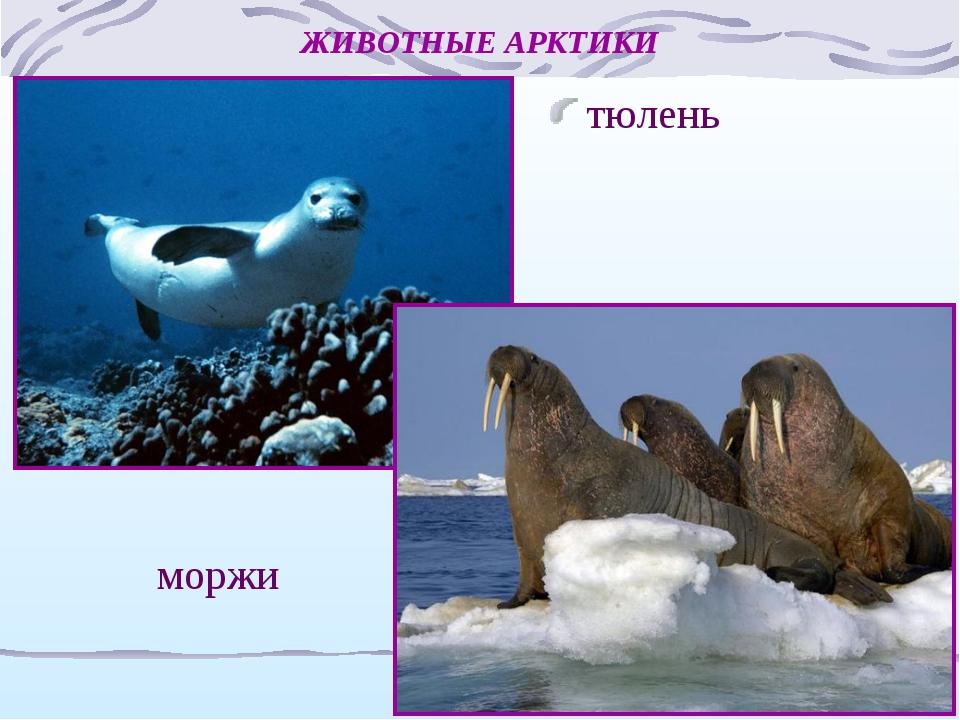 ЖИВОТНЫЕ АРКТИКИ тюлень моржи