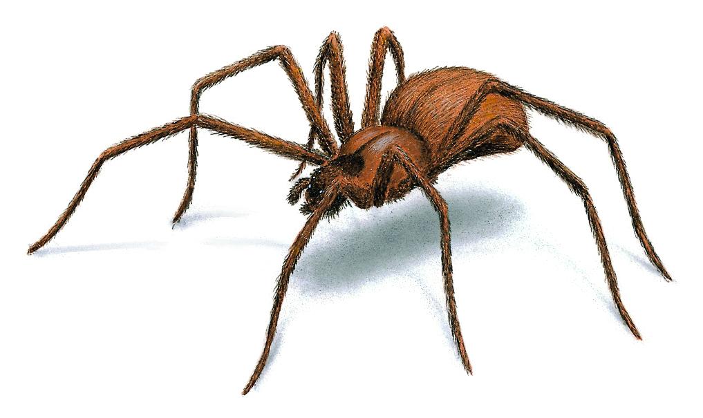 http://cdn.orkin.com/images/spiders/brown-recluse-spider-illustration_1017x605.jpg